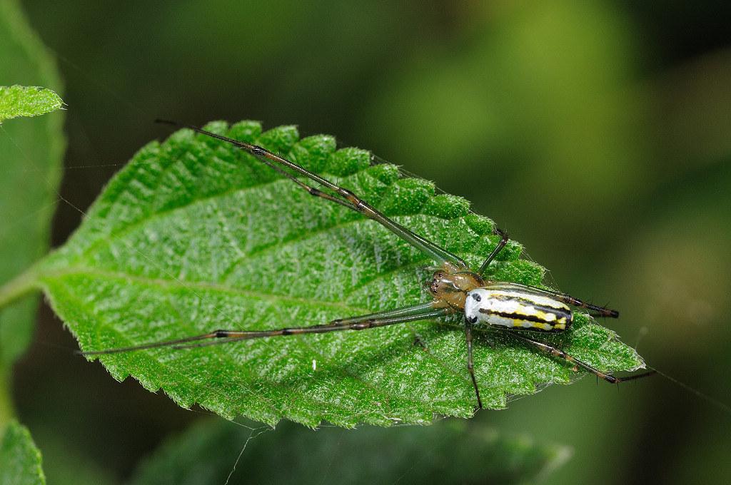 銀腹蛛 Leucauge sp.