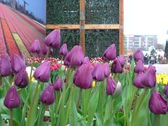 Tulips (荷蘭, 寰宇庭園區)