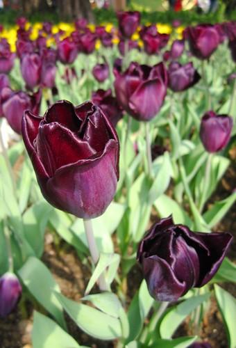 紫金鬱金香