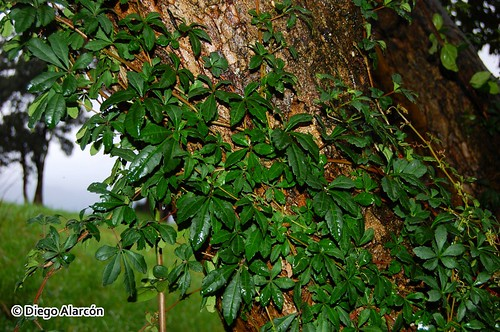 <i>Cissus striata</i>, con su hábito trepador, ascendiendo con un tronco. Alrededores de Panguipulli, Región de los Ríos.