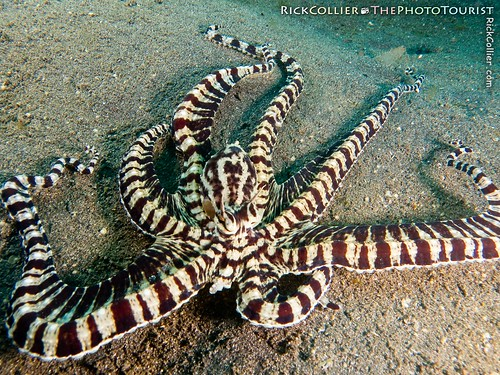 Mimic Octopus Swimming Dive Mimic Octopus Charge