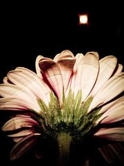 Daisy (KJGarbutt) Tags: pink flowers flower colour green yellow photography petals purple sony cybershot stamen polen daisy kurtis sonycybershot garbutt kjgarbutt kurtisgarbutt kurtisjgarbutt kjgarbuttphotography