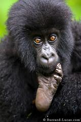 Baby Gorilla (Will Burrard-Lucas   Wildlife) Tags: baby foot gorilla young rwanda volcanoesnationalpark viaflickrqcom