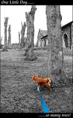 One Little Dog....... (Azurian Vista) Tags: dog color colour tree nikon king market norfolk charles spaniel cavalier selective downham d3000