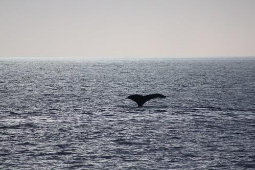Maui Whalewatching