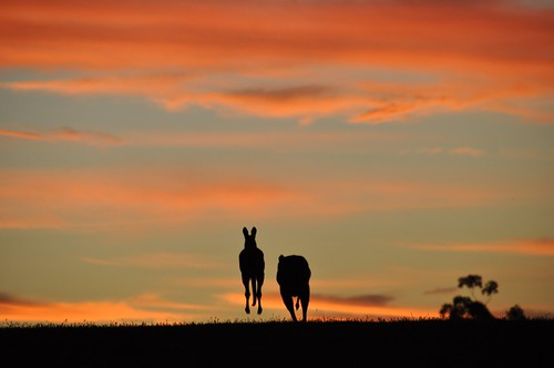 Kangaroos hopping away into the sunset