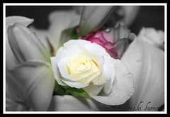 SNUGGLED IN THE MIDDLE (vicki127.) Tags: pink roses bw white green leaves focus canon300d border bud soe picnik experimenting lillys selectivecoloring digitalcameraclub beautifulphoto youmademyday flickraward elitephotography platinumphotography macroflowerlovers ilovemypics february2011 wonderfulworldofflowers flickrflorescloseupmacros magnificentmacros mygearandme ringofexcellence vickiburrows vicki127