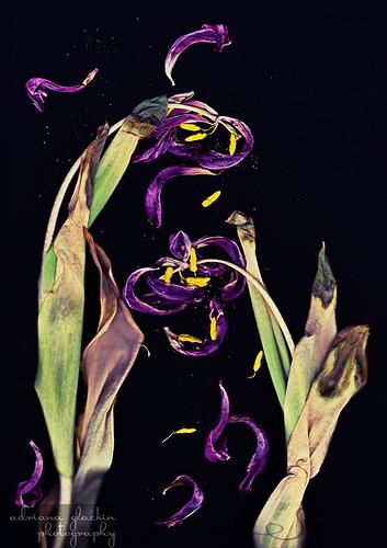 Scanograph Tulips
