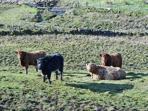 Highland Cows nr Glasgow