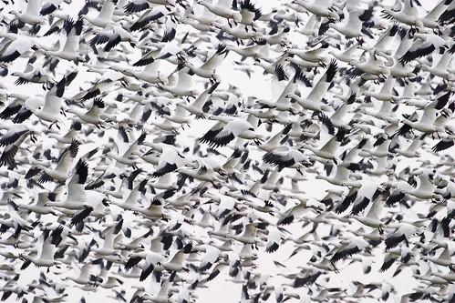 フリー写真素材, 動物, 鳥類, カモ科, ヒメハクガン, 群れ・大群,