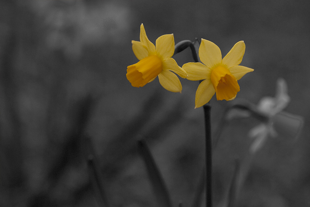 Color 2/31:  Daffodils