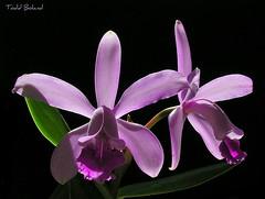 Cattleya intermedia (Todd Boland) Tags: flowers orchids orchidaceae cattleya