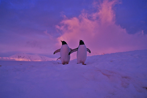 cute couple of Gentoo Penguins in Jougla, Antarctica by picsie74
