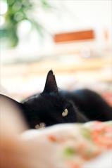 Resting (m.westin) Tags: black floral cat print bed eyes dof bokeh ears depthoffield nikond90