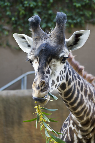 Young giraffe eating