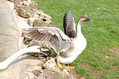 Go away from my pond. (Elisadc) Tags: animal duck swan pond farm gosling animali papera cigno stagno fattoria digitalcamerclub