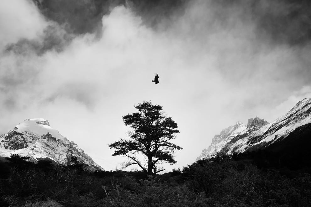 El cóndor, símbolo de grandeza y libertad, dios de los Aymaras en el altiplano Andino, sobrevuela el valle del Cerro Torre. (Guillermo Morales -  Patagonia, Argentina)
