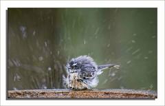 cute wet fluffy spray splash splatter splashing australiannativebird smallbird greyfantail