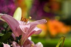 Fat Tuesday - EXPLORE (Light Echoes) Tags: flower philadelphia nikon lily bokeh explore bloom philadelphiaconventioncenter philadelphiaflowershow 2011 d90 dmk philadelphiainternationalflowershow