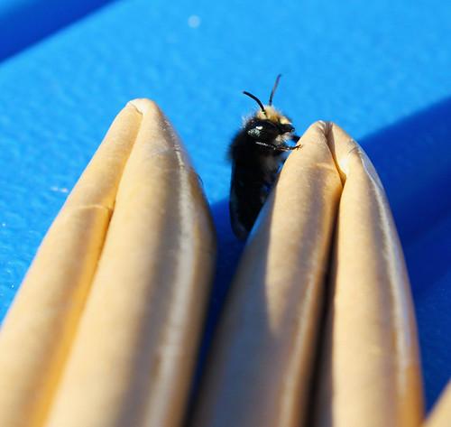 mason-bees1-(1-of-1)
