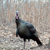 Happy Thanksgiving (The Shutterbug Eye™) Tags: park bird nature turkey illinois nikon d70 wildlife birding cantigny birdwalk carlsbirdclub