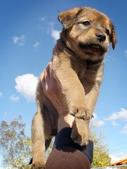 Cocoa Bean Flying @ 6 weeks (Immature Animals) Tags: blue arizona rescue dog baby tree cute animal clouds puppy nose eyes tucson shepherd adorable bean pima bark doberman paws aussie cocoa hold heeler neuter spay koalition
