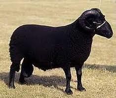 羊胎盤油-20100909102305_m