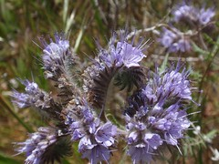 Phacelia 02 (Tom Hilton) Tags: color wildflowers phacelia phaceliatanacetifolia windwolvespreserve hydrophylllaceae