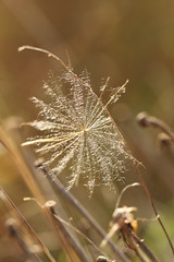 Dreams (kasia-aus) Tags: brown plant macro grass march beige soft dream seed dry australia canberra act 2011