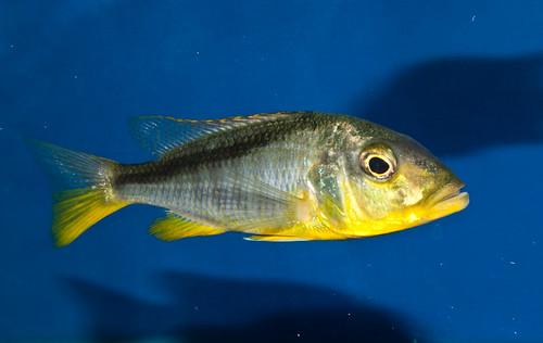 Картинки по запросу Buccochromis rhoadesii
