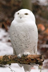 Snowy Owl (Bubo scanidacus) (macca_1985) Tags: zoo sweden sverige chrismclean nordensark canon70300f456 nordens canoneos550d