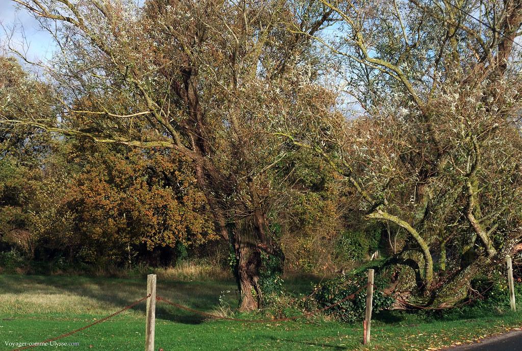 Vieux arbres noueux