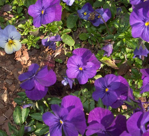 Violas as Bedding Plants