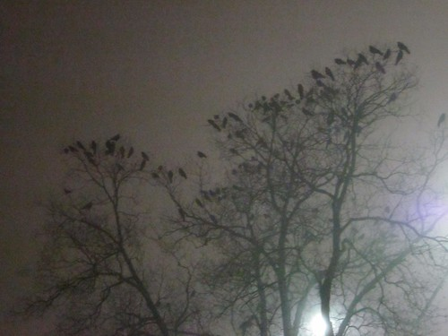 crows roosting in trees