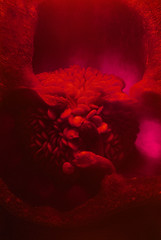 Pepper World (Japhy Riddle) Tags: red food macro film pepper seeds f3 nikkor