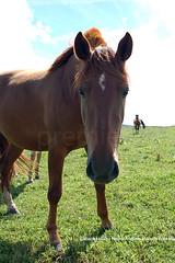 Cavalo_Crioulo_Foto_Marcio_Andre Teixeira_Premiere_Age (798) copy (Premiere|Age) Tags: brazil horses horse southamerica brasil america criollo caballo cheval caballos cavalos mustang pferde cavalli cavallo cavalo gauchos pferd riograndedosul hest brsil chevaux paard gaucho cavall amricadosul hst  gacho amriquedusud meridionale sudamrica suramrica amricadelsur sdamerika crioulo criollos   k  baguales at americadelsud crioulos cavalocrioulo kal chwal cimarrones mesteos iayayam yamaiay   kait cavalocrioulo cavalogacho cavalodors guacrioula potrocrioulo cavalodoriograndedosul cavaloscrioulos caballocriollo caballoscriollos cavalocampeiropotrocrioulohorsecrioulogachos freiodeouro cavaloargentino cavalouruguaio cavalochileno caballochilenoperd
