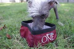 IMGP9955 (GoProGirlMiami) Tags: dogs weird different hairless peruvian uglydog drinkingwater peluda hairlessdog purinaone phodography