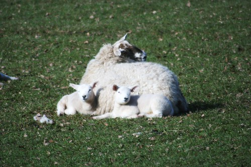 Spring lambs at Muthill