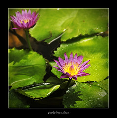 water lily flower #2 [explored] (e.nhan) Tags: flowers light flower art nature water fleur closeup landscape colorful eau colours dof lily bokeh couleurs arts backlighting enhan