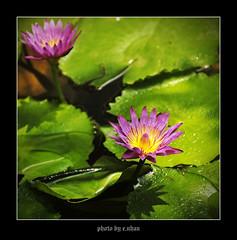 water lily flower #2 [explored] (e.nhan) Tags: flowers light flower art nature water fleur closeup landscape colorful eau colours dof lily bokeh couleurs arts backlighting enhan