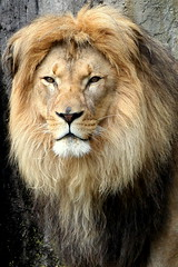 Lion's beautiful face