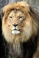 Lion's beautiful face
