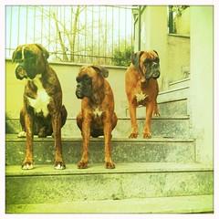 Ian Iris Mimì (deboh76) Tags: dog pet scale cane stairs stair boxerdog step crew bunch boxer scala gruppo gradino mucchio canidi patafruttoli hipstamatic jimmylens blankofilm boxercrew deborahguerra deboh76