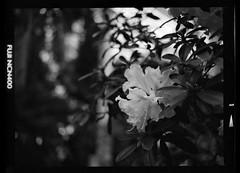 Bronica ETRSi 015 (zzpza) Tags: blackandwhite kewgardens 120 film mediumformat fuji bronica fujifilm neopan 6x45 botanicalgardens etrsi neopan400cn ncn400