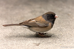Dark-eyed Junco, Oregon  (Junco hyemalis) (Patricia Ware) Tags: california manhattanbeach canon40d 500mmlens darkeyedjuncooregonjuncohyemalis