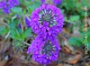 Passionate For Purple? Plant Clump Verbena
