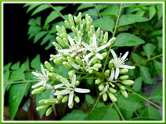 Flowering Curry Leaf Plant (Murraya koenigii) at our backyard, March 20 2011