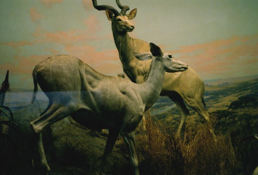 Antelopes Print
