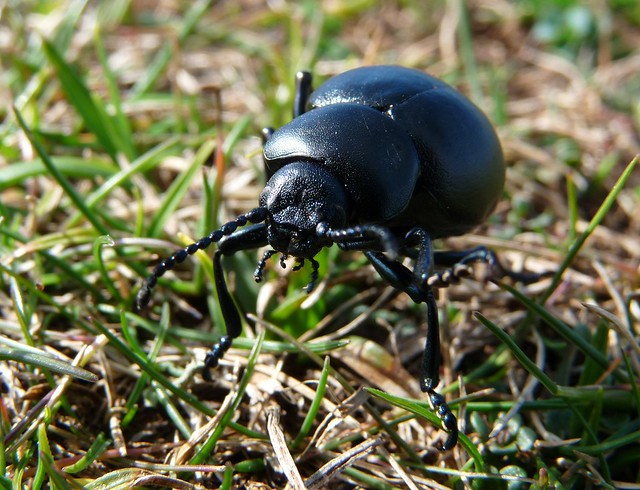 24123 - Bloody Nosed Beetle, Rhossili, Gower