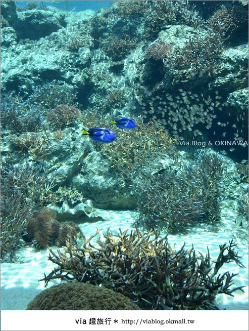 【沖繩景點】美麗海水族館~帶你欣賞美麗又浪漫的海底世界!8